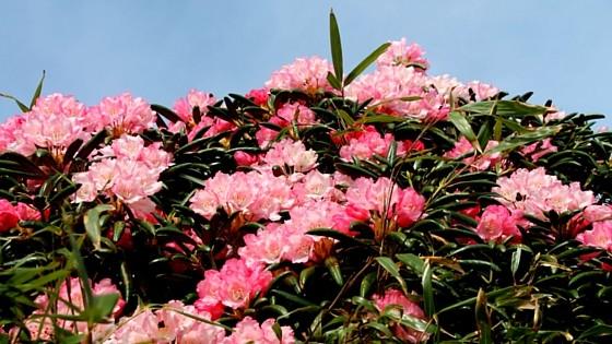 屋久島の5月後半は、屋久島しゃくなげの季節です!稜線に広がる、天空の楽園を一緒に歩きましょう♪