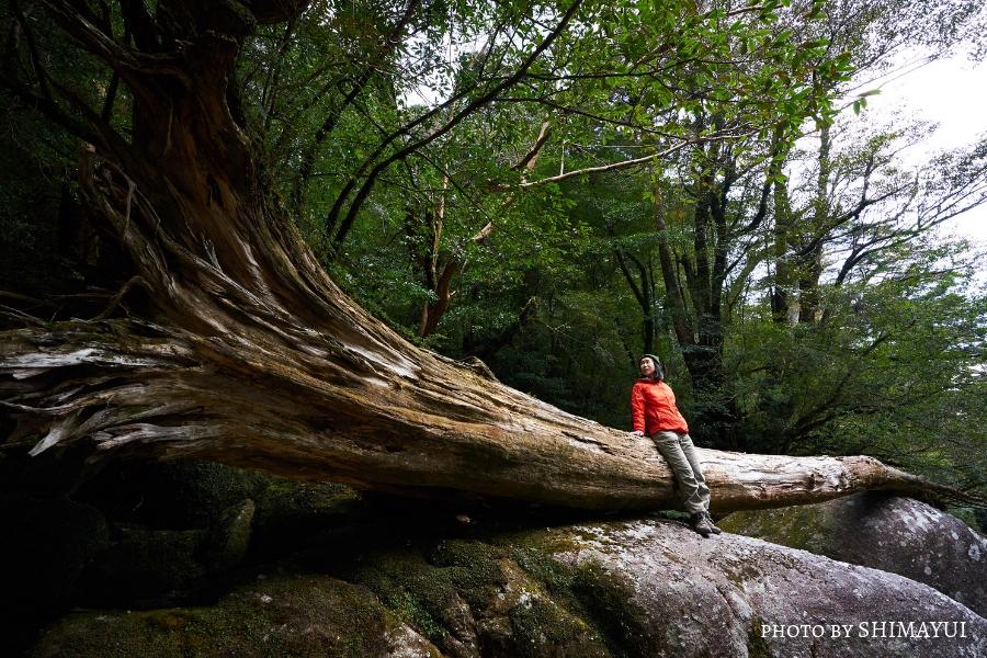 ヤクスギランド,巨木,倒木,屋久島,ガイドツアー,半日過ごし方,屋久杉,トレッキング