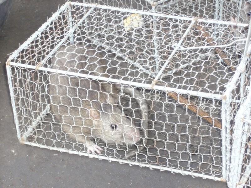 調査時に撮影したドブネズミ