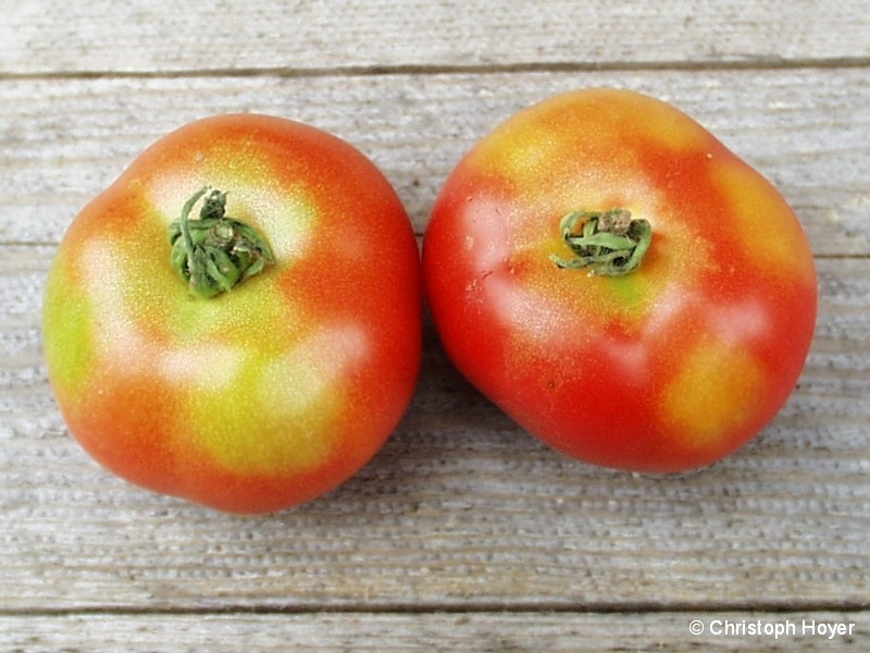 Grünkragen an Tomate