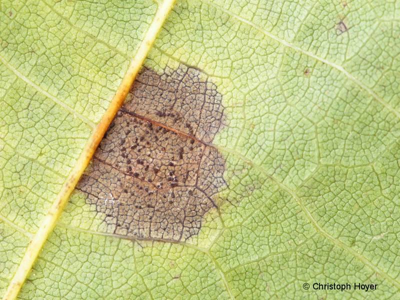 Marssoninakrankheit an Walnuss (Fruchtkörper)