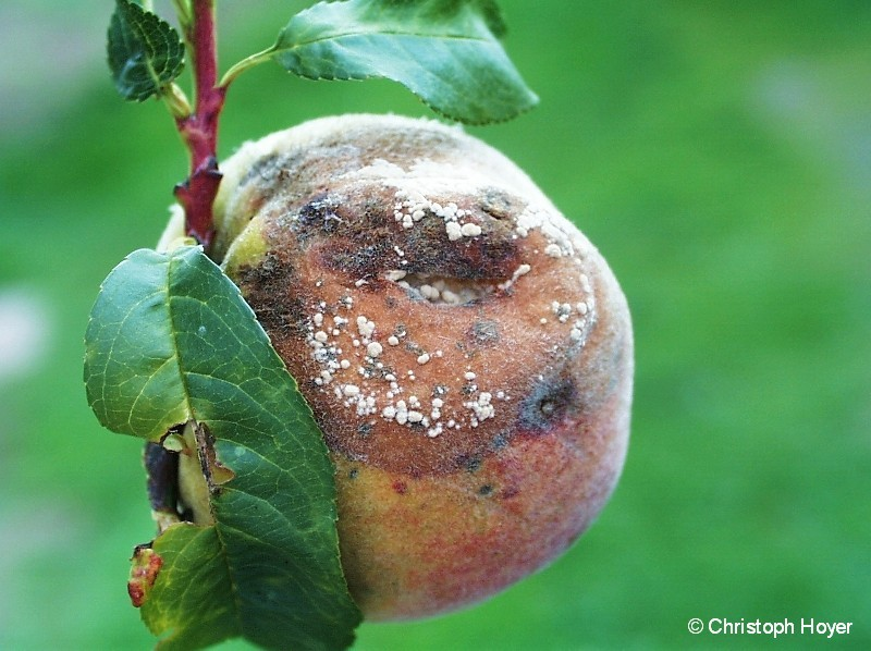 Monilia-Fruchtfäule an Pfirsich