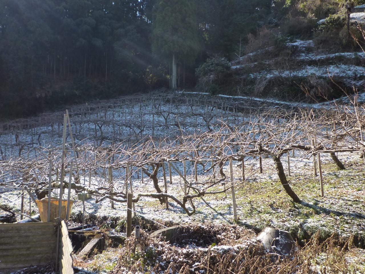 1月、徳島でもまれに雪が積もります。キウイ畑の様子です。