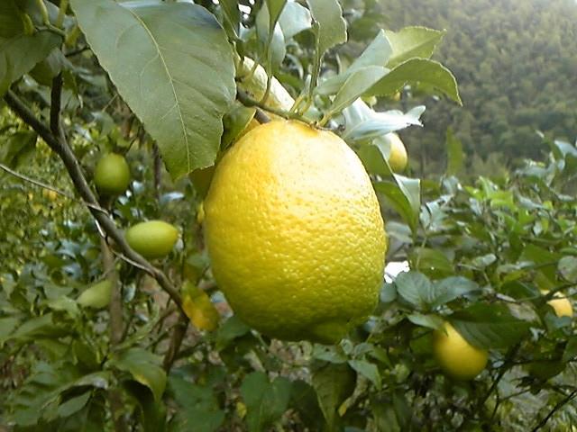 11月後半になるとレモンも黄色く色づきはじめてます。