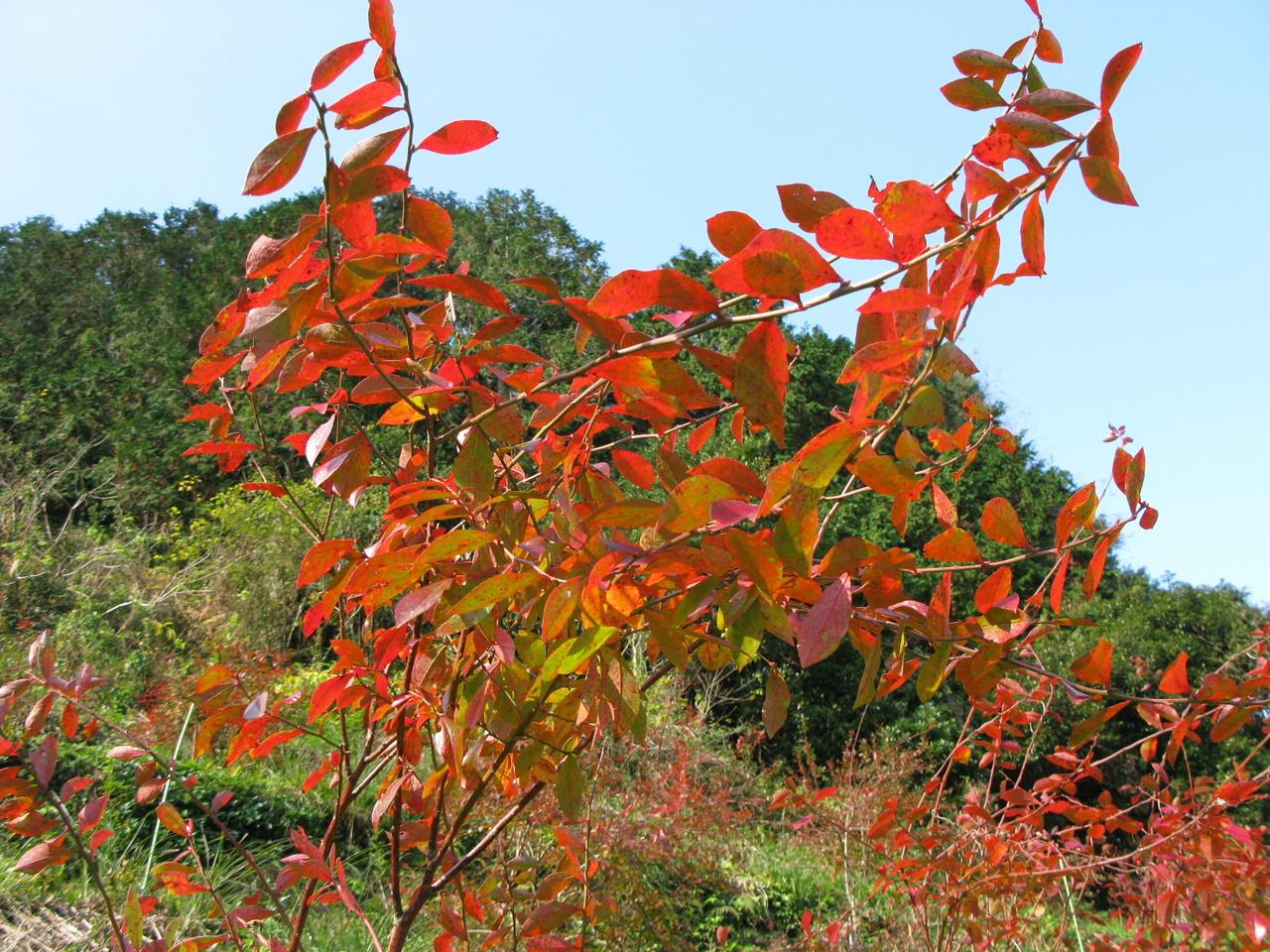 12月なかばになると、ブルーベリーの葉が赤く紅葉します。