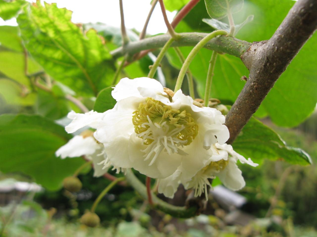 5月下旬。キウイは花盛りです。