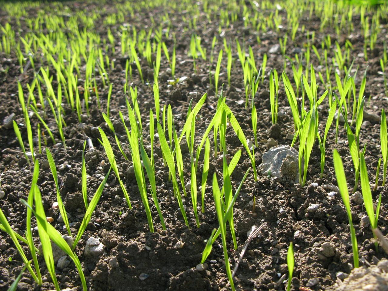 11月に種まきした小麦は12月半ばにはこんなに大きくなりました。