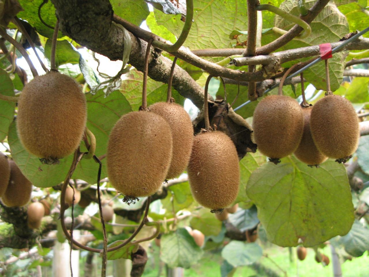 11月、キウイを収穫して追熟させます。