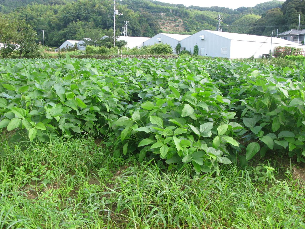 9月はじめ、大豆がすくすく成長しています。