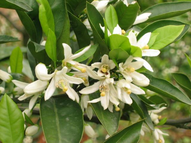 5月はじめ。みかんの花のいい香りが広がります。
