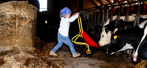 Klein-Hannah füttert Kühe