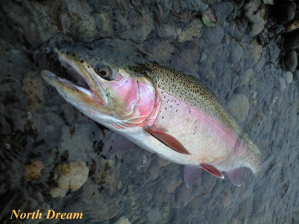 ニジマス 56㎝ ランディング後、この様に口が水中にあると、魚は弱らない