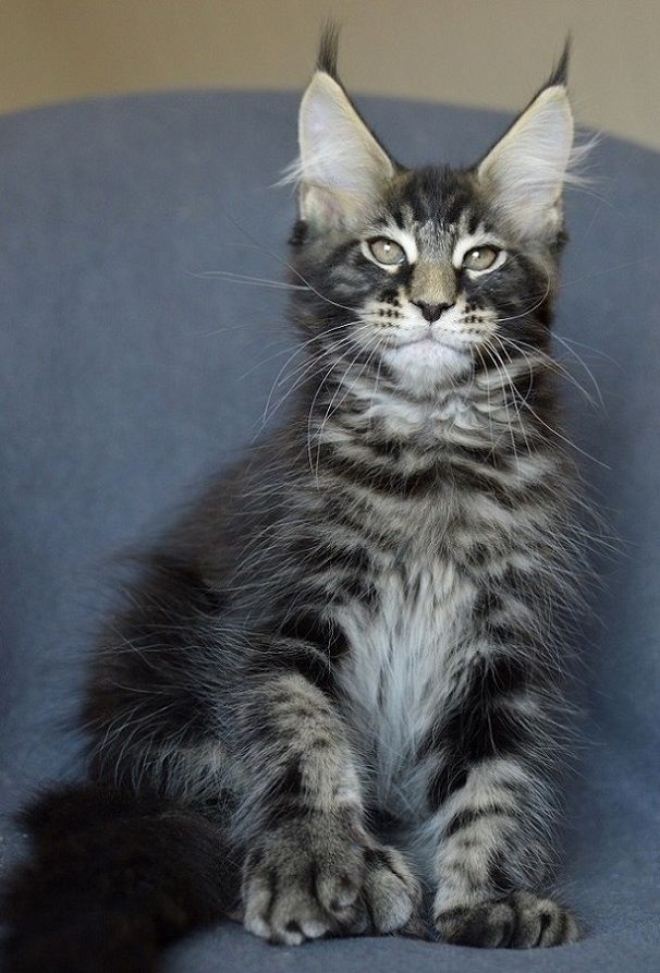 Kievan Steel of EuroCoons - Blue Silver Mackerel Male Maine Coot Cat