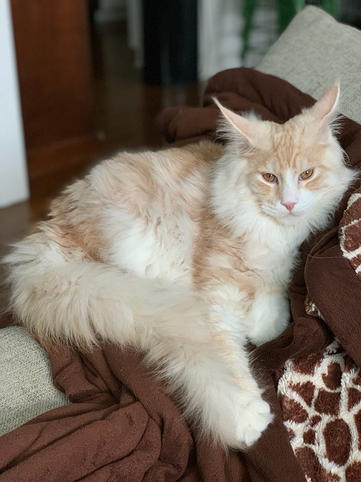 EuroCoons Ivan at 7 month <br>Pale Red Silver Classic Tabby European Maine Coon Cat</br>