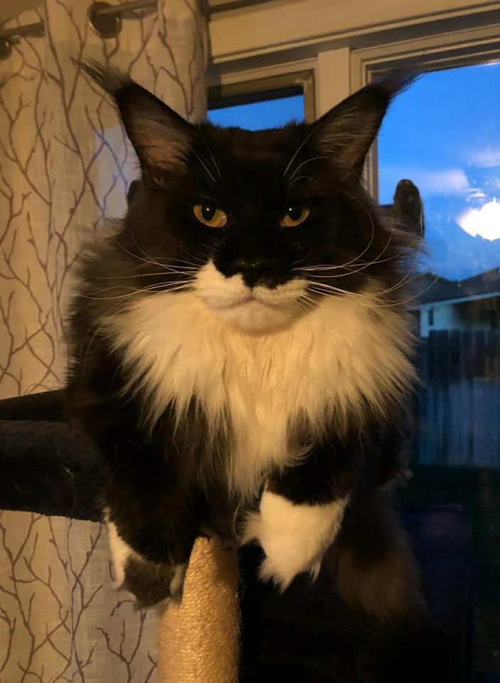 EuroCoons Tux aka Monty at 6 month <br>Black and White  European Maine Coon Cat</br>