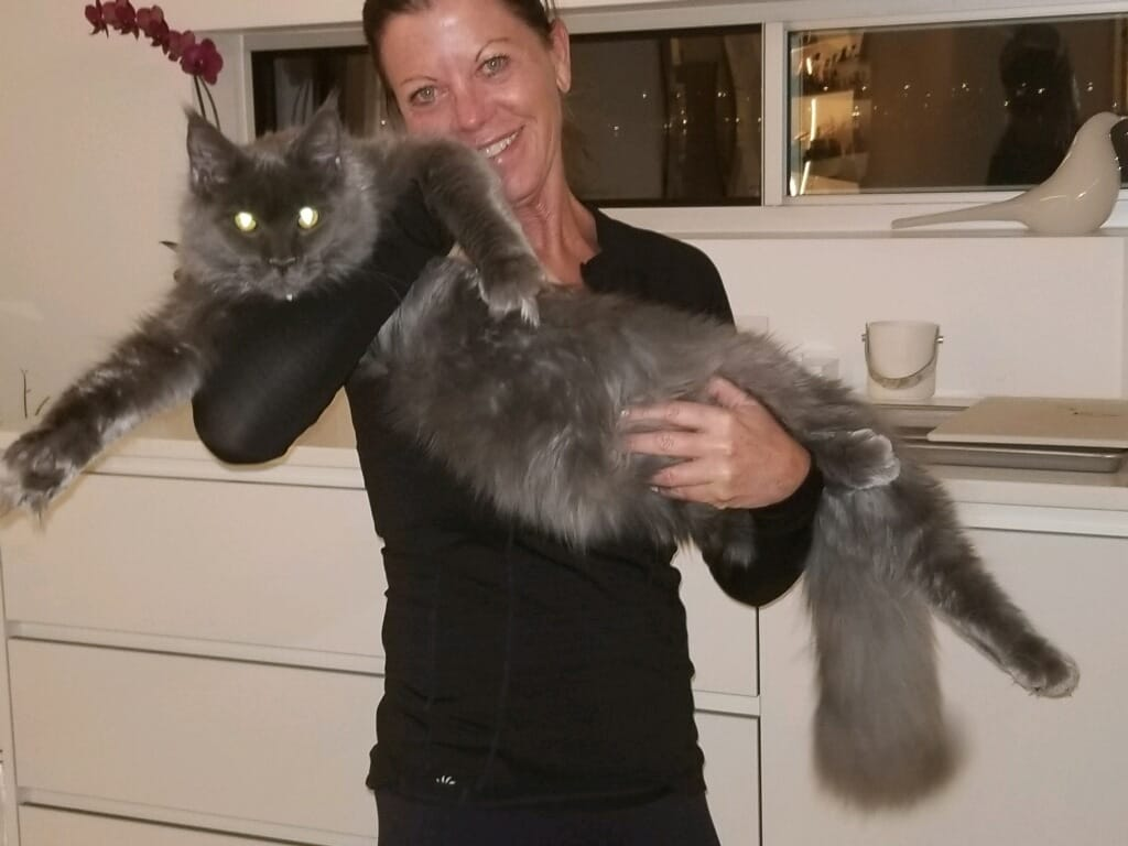 EuroCoons Jax aka Blu at 5 month <br>Blue Smoke European Maine Coon Cat</br>