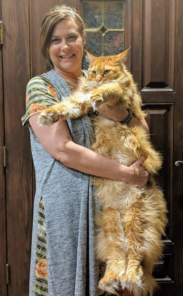 EuroCoons Hagrid aka Samson at 12 month - 24 lbs <br>Red Classic Tabby European Maine Coon Cat</br>