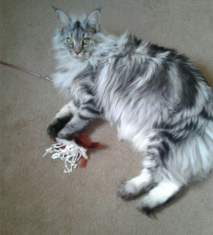 EuroCoons Hela aka Sophie at 6 month<br> Silver Classic Tabby European Maine Coon Cat</br>