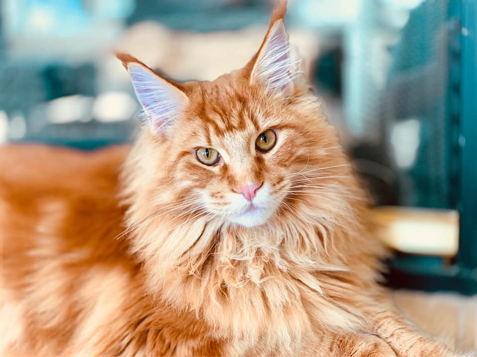 EuroCoons Kyzer aka Dave at 5 month <br>Red Classic Tabby European Maine Coon Cat</br>