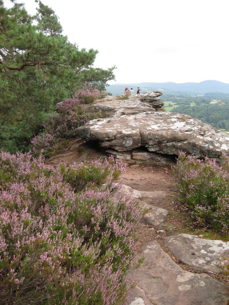 Die Heide blüht auf dem Felsplateau