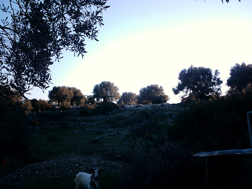 grosse alte Olivenbäume