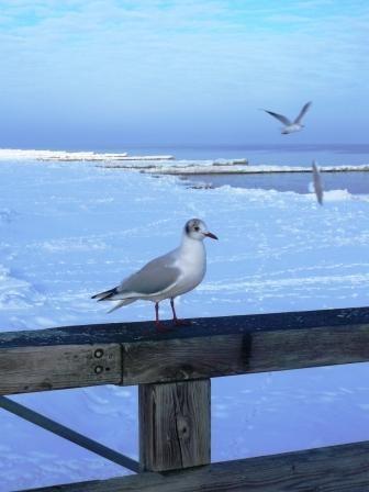 im Winter sehr zutraulich-Möwen