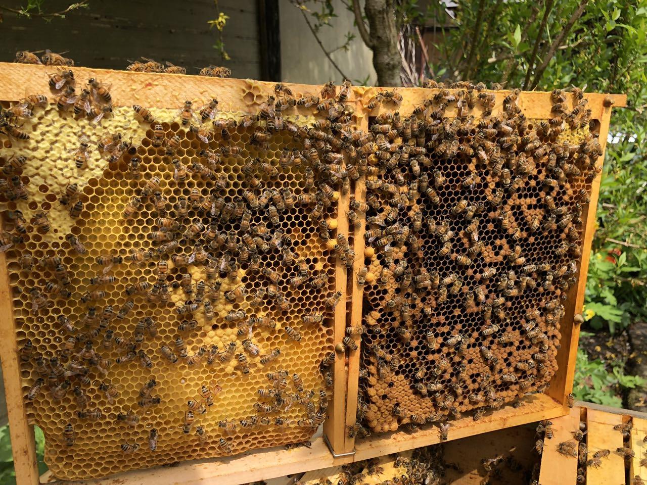 Auf der Waben sind nur wenige Bienen. Das Volk muss zusätzlich verstärkt werden. Die Königin darf sich nicht auf der Wabe befinden.