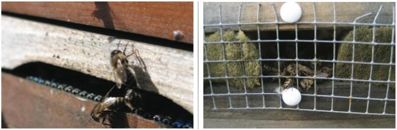Mäusekeil oder Mäusegitter