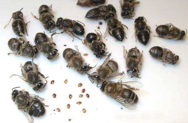 Bienen mit Varroa Milben