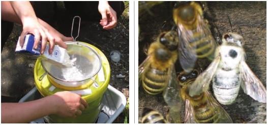Milbenbehandlung mit Puderzucker