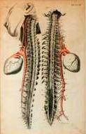 Anatomischer Kupferstich: Wirbelsäule mit Herz  Kupferstich, in der Platte signiert.