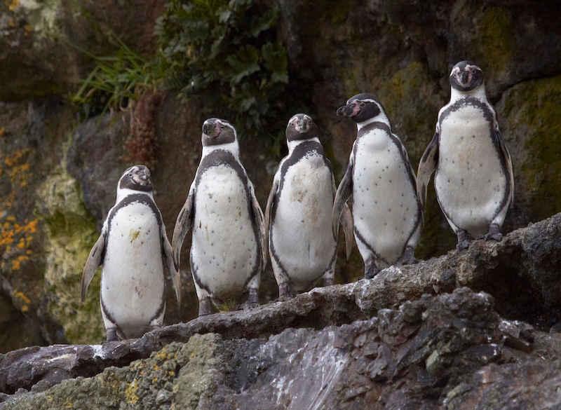 Exkursion Pinguinkolonie Puñihuil Chiloé