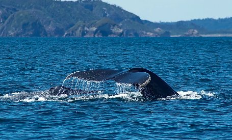 Whale watching in Ancud