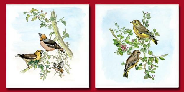Oiseaux gros-becs et verdiers d'europe