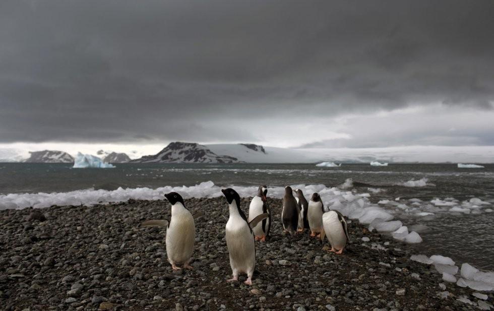 Pingüinos antárticos, sus máximos pobladores...