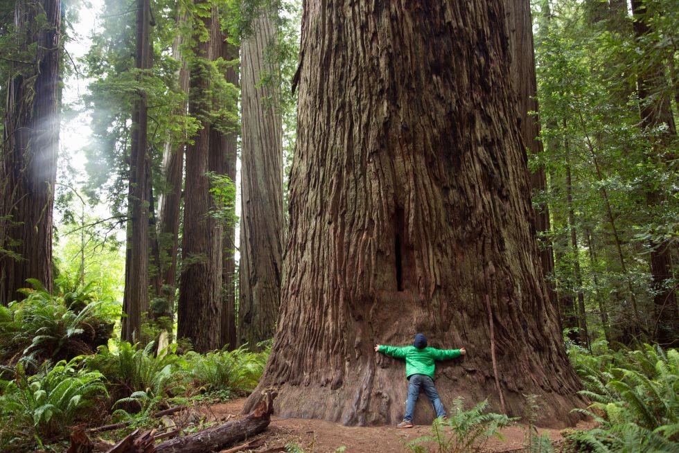 Árboles gigantescos y milenarios: las secuoyas.