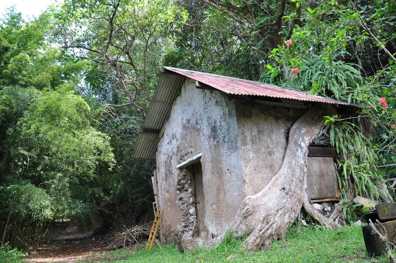 Racine enlaçant une maison à Prony