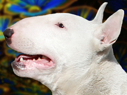 Grand CH, Middle East European CH, Bull Terrier Championship Winner + BOB CH ENRICO FROM UKR MILKY WAY
