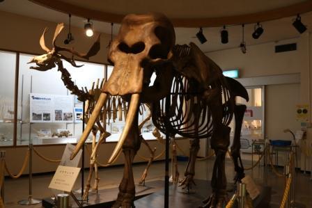 世界最小のナウマンゾウの骨格標本