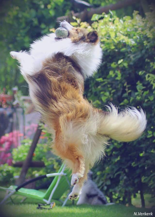 Damit der Sheltie soviel springen kann, wie er möchte, sollten die Hüften geröngt werden