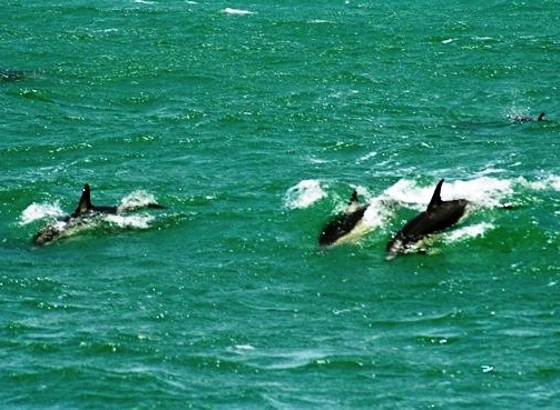 Common dolphins, NZ