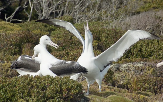 Southern royal albatross, Auckland Islands