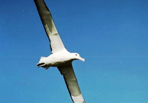 Royal albatross, Auckland Islands