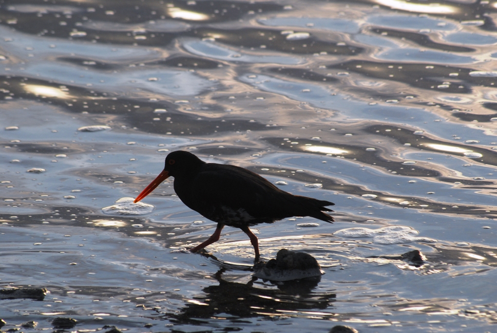 Variable oystercatcher, NZ