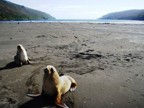 NZ sea lions, Auckland Islands