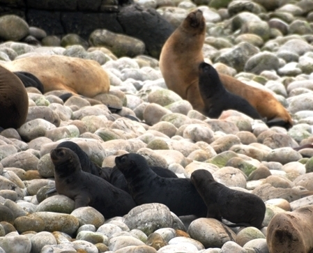 South American sea lions, Falklands