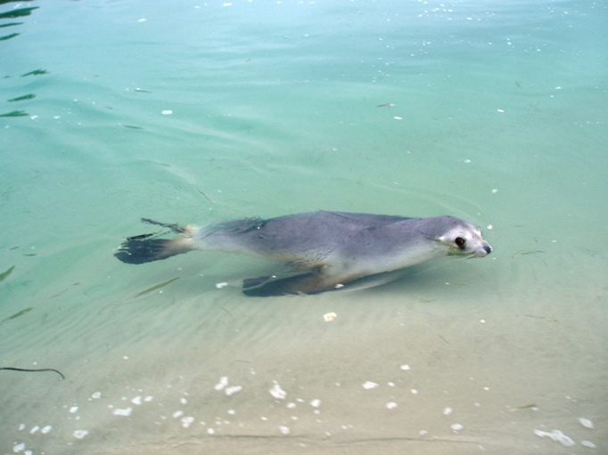 NZ sea lion, Otago Peninsula, NZ