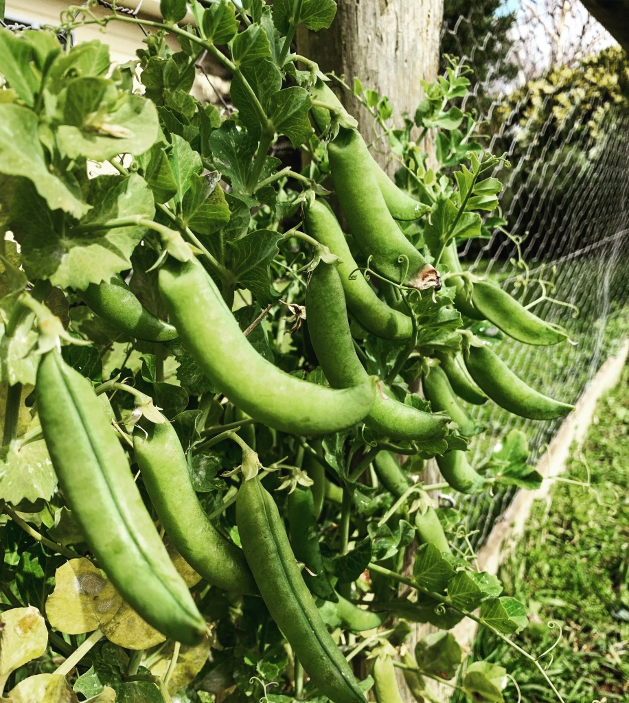 Food on fences - Growing even more peas