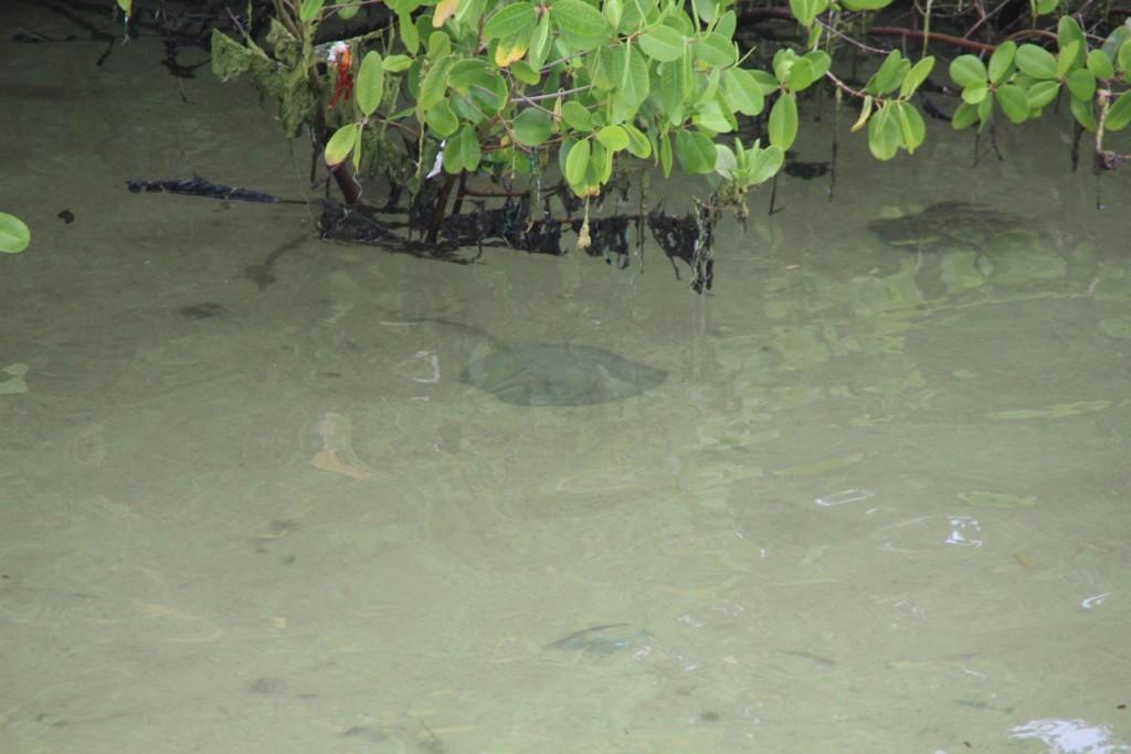 une raie dans la mangrove