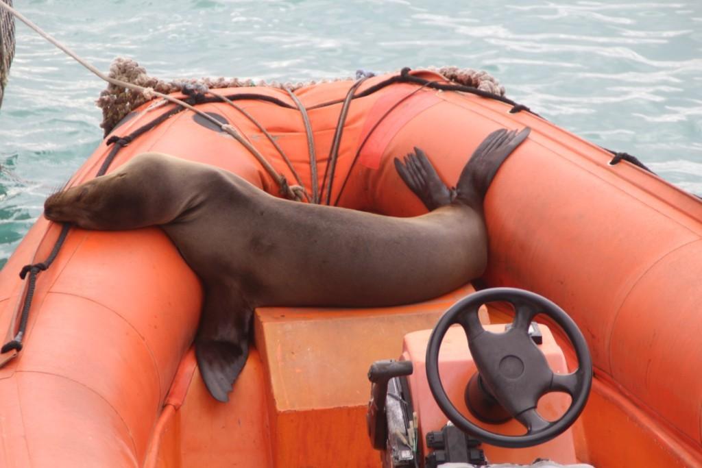 le repos du phoque